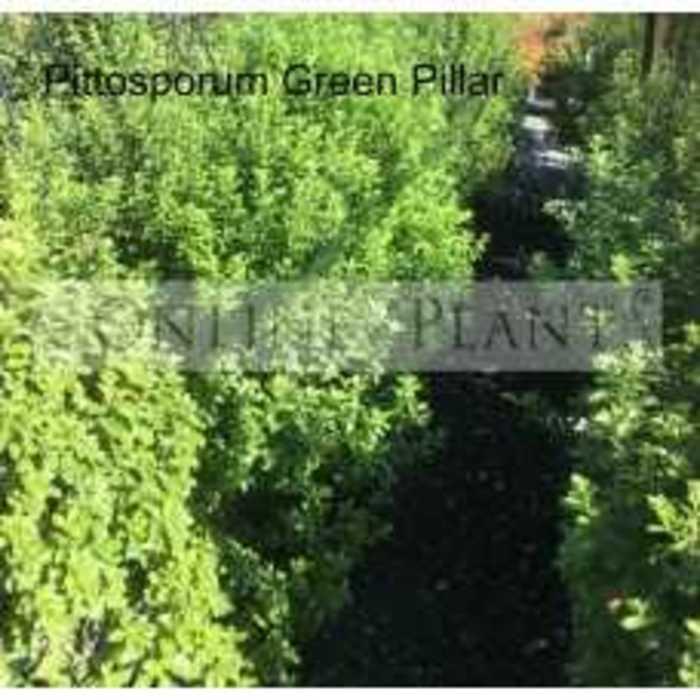 Pittosporum green pillar 228x228