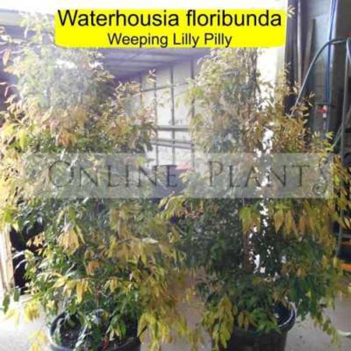 Waterhousia floribunda 400x400